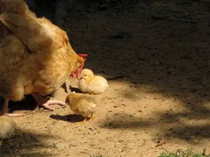 mama chicken and baby chicks picture