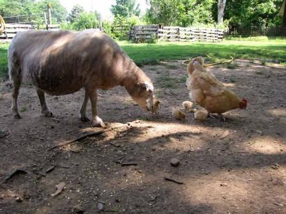 ewe sheep and baby chickens