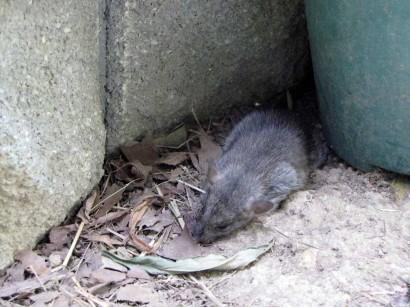 dead rat picture