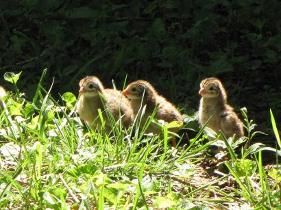 baby guinea keets picture