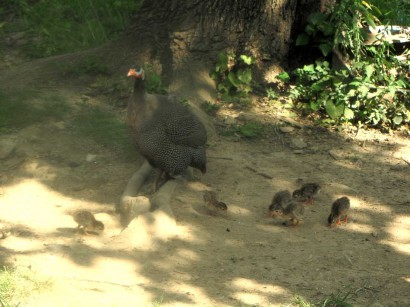 picture of guinea hen and baby keets