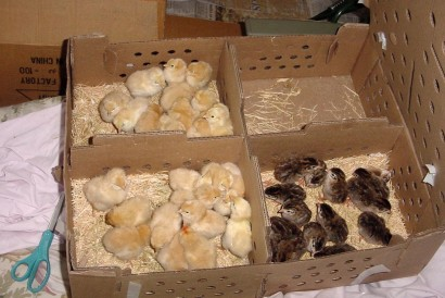 pictures of baby chickens in box
