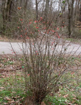 picture of quince bush