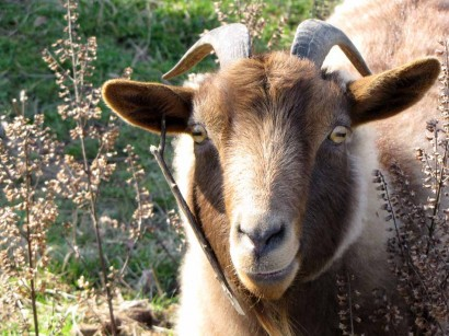 picture of goat