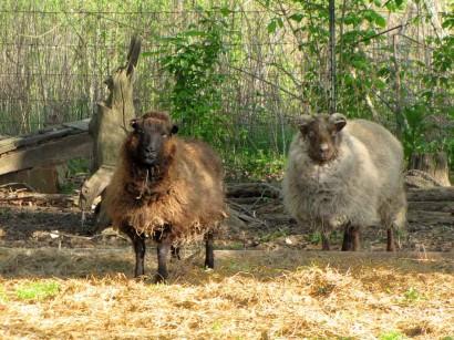 shetland sheep ewes