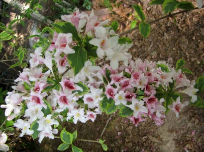 blooms on variegated weigela
