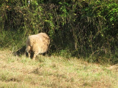 Shetland ewe sheep with head through fence