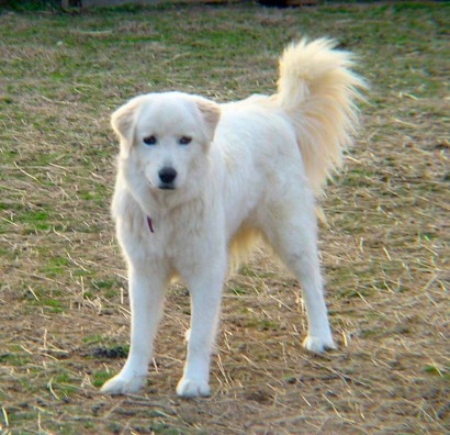 picture of maremma sheepdog