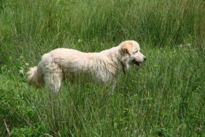 image of maremma sheepdog in field of green