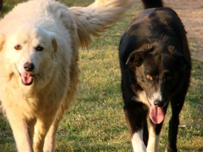 image of maremma sheepdog and american farm collie