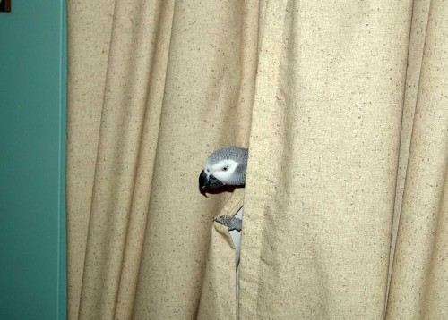 picture of African Grey parrot
