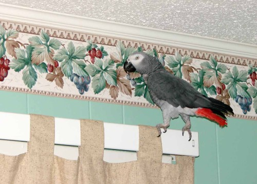 picture of parrot on curtian rod