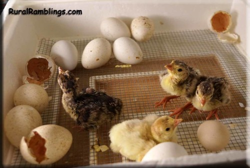 picture of newly hatched turkeys