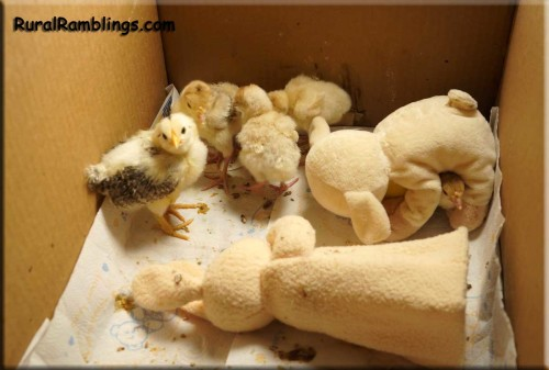 picture of baby turkeys