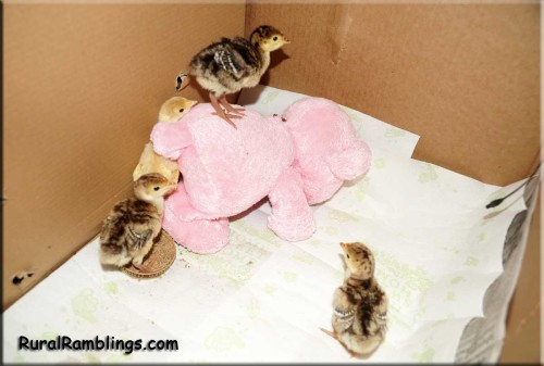 picture of turkey poults