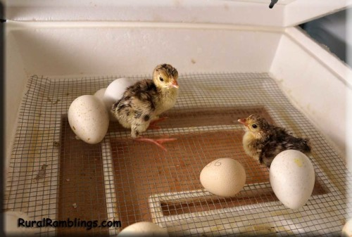 picture of baby turkeys in incubator