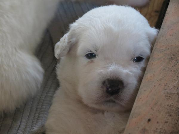 pic of sheepdog pup