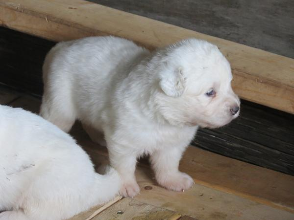 picture of Maremma puppy at 3 weeks