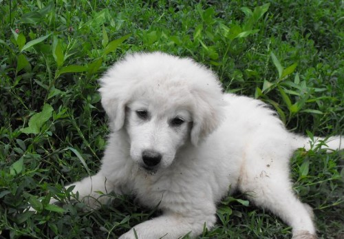 picture of male maremma sheepdog puppy