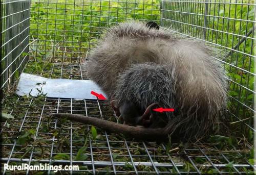picture of opossum