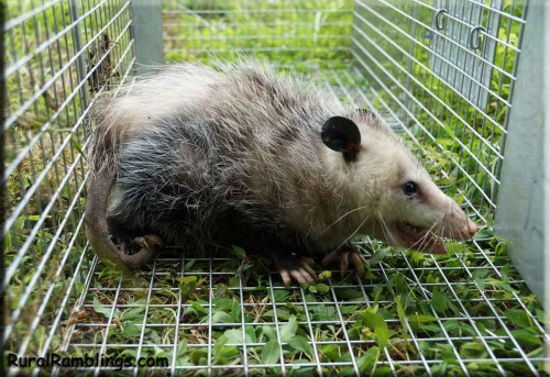 picture of mother opossum