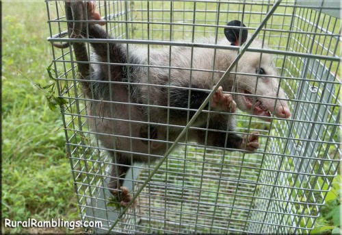 picture of opossum and pouch