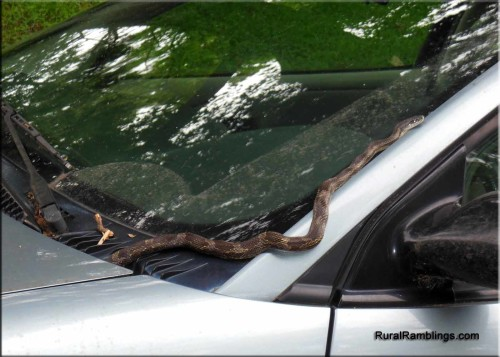 picture of snake on car windshield