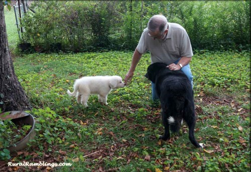 pic of Maremma pup and adult Farm collie