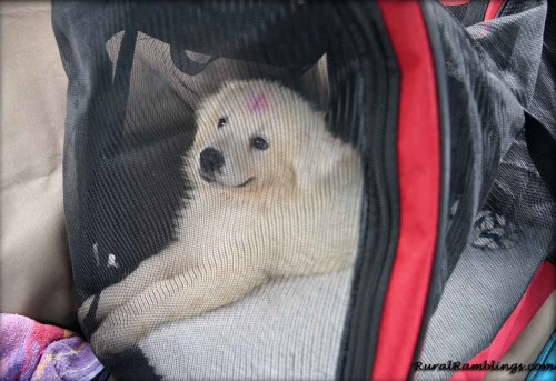 picture of Maremma pup