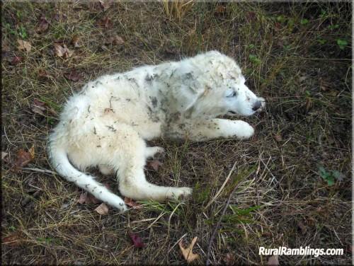 pic of Maremma pup