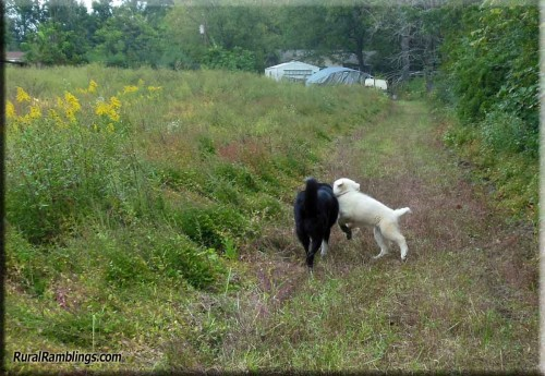 pic of farm collie & maremma pup