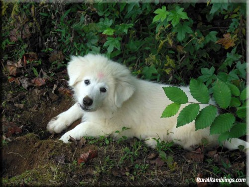 picture of Maremma sheepdog puppy