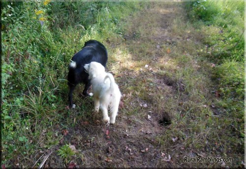 pic of maremma pup and farm collie dog