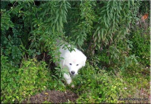 pic of Maremma pup in weeds