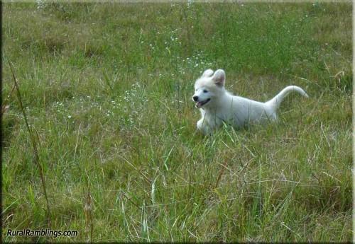 pic of Maremma pup running