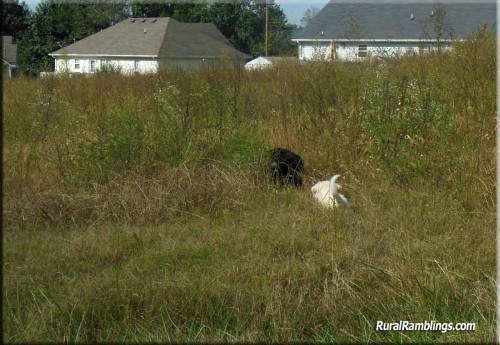 pic of farm collie & Maremma sheepdog pup