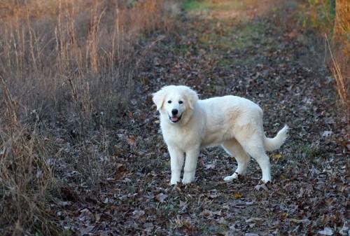 pic of Maremma sheepdog pup
