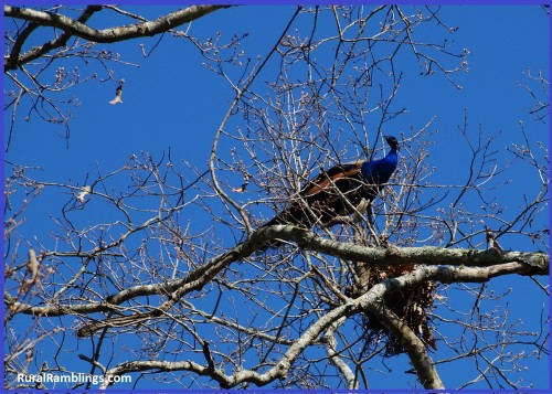 picture of peacock in tree