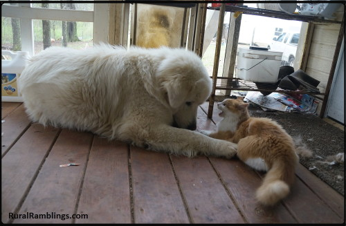 picture of Maremma sheepdog and cat