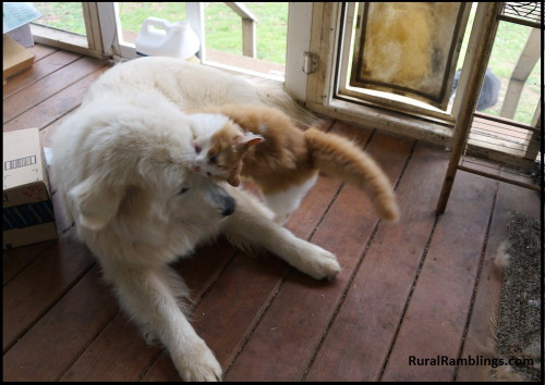 picture of Maremma and cat