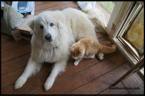 image of Maremma and cat