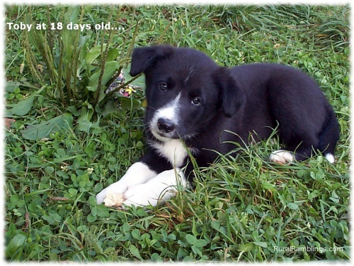 pic of farm collie pup