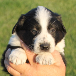picture of farm collie pup