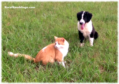 picture of English Shepherd pup and cat
