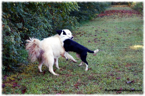 PIC OF farm dog and Maremma