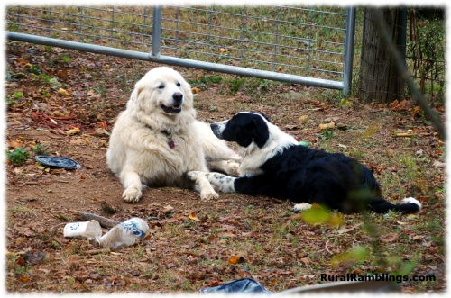 pic of English Shepherd and Maremma Sheepdog