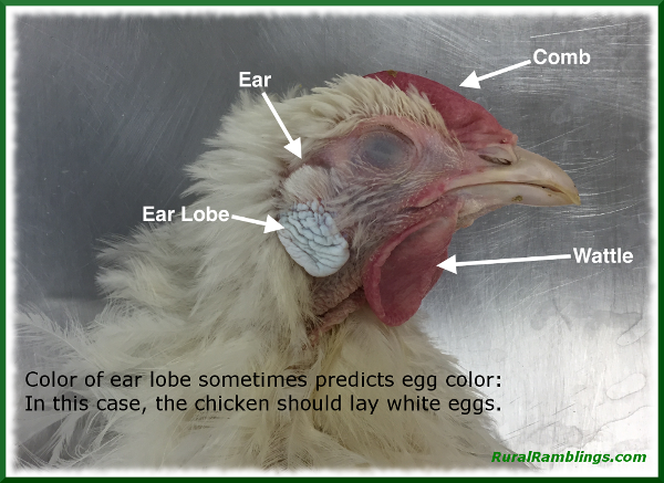 chicken with white ear lobe