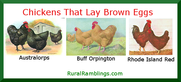 chickens that lay brown eggs