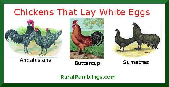 chicken breeds that lay white eggs