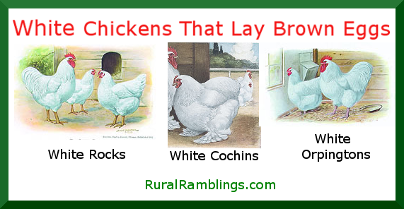 White chickens lay brown eggs